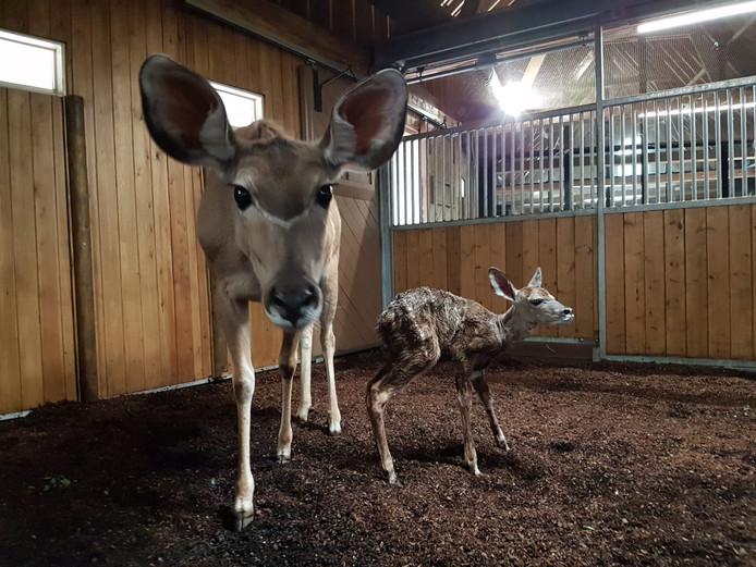 Moeder Umusa met de pasgeboren Koedoe Bobo.