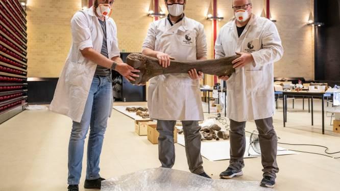 """Concertzaal Stroming doet even dienst als laboratorium om skeletten uit ijstijd te restaureren: """"Verzameling gevonden op Nieuwdonk"""""""