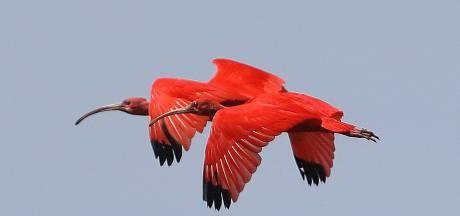 Natuurfotograaf Gijs beleeft geluksmoment en legt de rode ibis vast: 'Dit geluk heb je normaal maar een keer in je leven'
