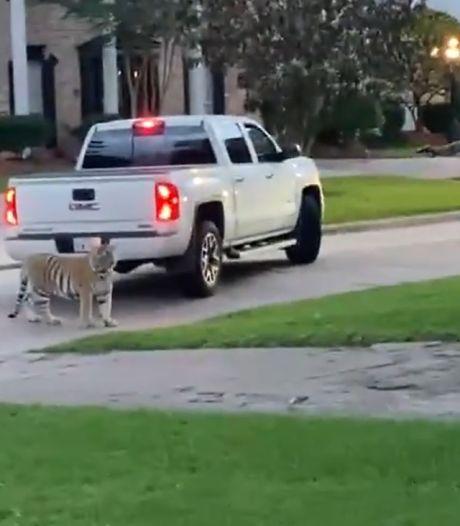 """Un tigre """"de compagnie"""" s'échappe de son domicile et arpente les rues de Houston"""
