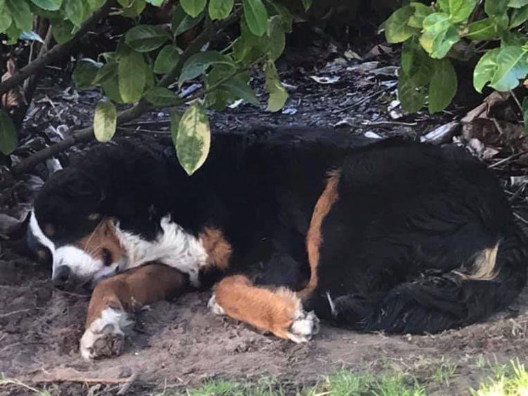 Diesel, de tweede hond van de familie die vergiftigd werd.