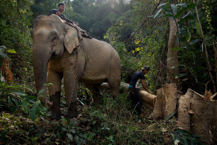 Justitie maakt werk van illegale invoer van teakhout om ontbossing in Myanmar te voorkomen.  Beeld Hollandse Hoogte / Panos Pictures