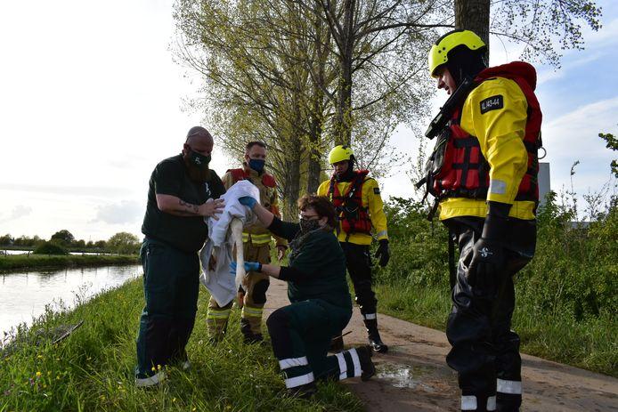 Een gewonde zwaan is maandagavond uit de rivier de Linge gehaald door de brandweer van Bemmel