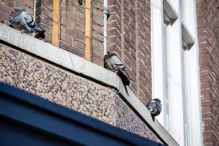 In Heerlen heeft men al jaren last van duiven in de binnenstad, het voorstel is nu om de duiven te voeren met anticonceptie middelen waardoor eieren niet uitkomen. Beeld Laurens Eggen