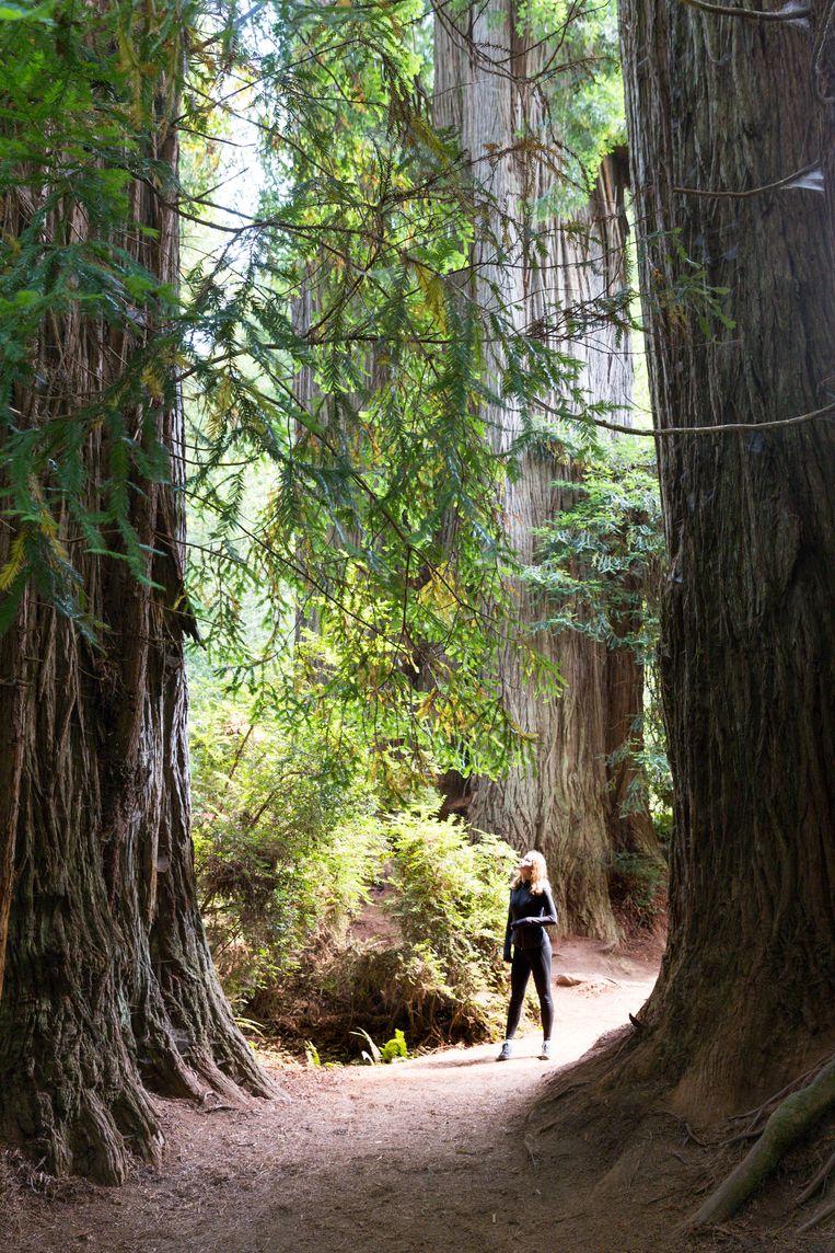 Wandelen tussen de redwoods is een lilliputiaanse ervaring.   Beeld Jonathan Vandevoorde