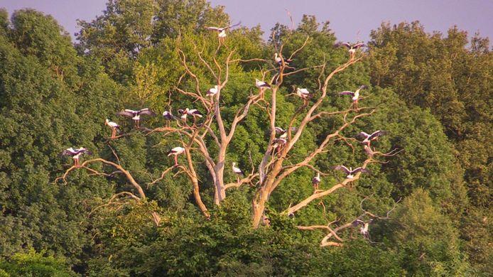 De tientallen ooievaars in een boom bij Losser.