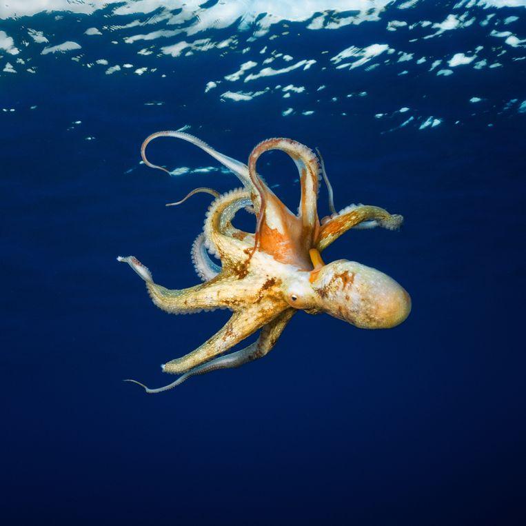 De octopus heeft 'zelfdenkende' armen, omdat hij, naast een centraal brein in de kop, ook acht kleinere breintjes in de tentakels heeft.