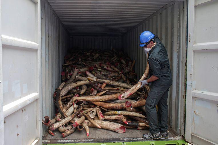 In een Maleisische haven  wordt in 2016 een container gevonden vol met ivoor van een stropersnetwerk uit Afrika.  Beeld EPA