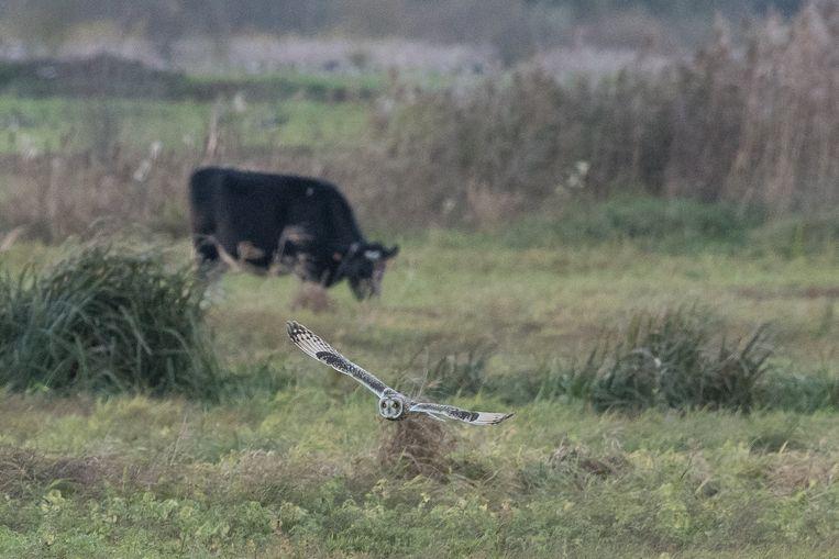 De velduil in actie in de Bourgoyen Beeld RV / Frank Maes