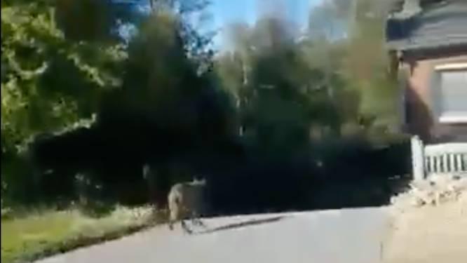 """Beelden tonen hoe wolf doodleuk oprit van bejaard koppel op loopt: """"Dit is toch akelig"""""""