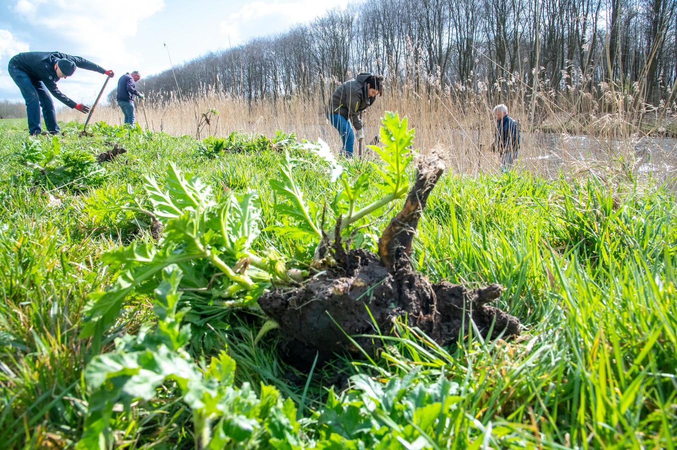 Onder leiding van boswachter Jan van Veen van Staatsbosbeheer steken de vrijwilligers met spaden de nog jonge plantjes van de reuzenberenklauw uit de grond.