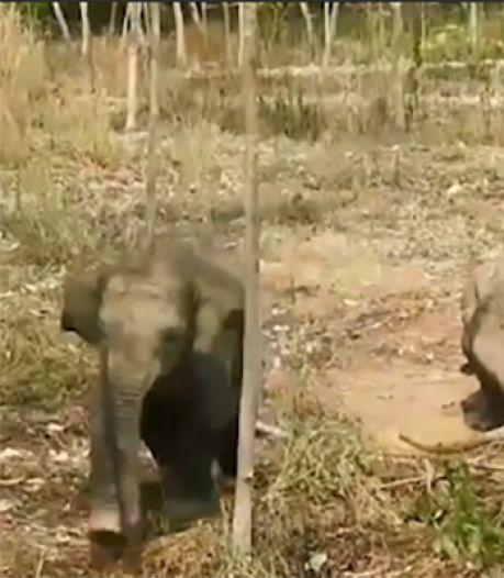 Un éléphanteau charge les vétérinaires pour protéger sa mère mal en point