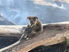 Pakkend beeld: koala met verbrande rug beschermt jonkie tegen bosbranden