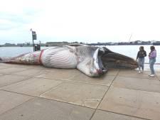 Dode walvis van vijftien meter uit sluis Terneuzen gehaald, dier bleef mogelijk aan boeg hangen
