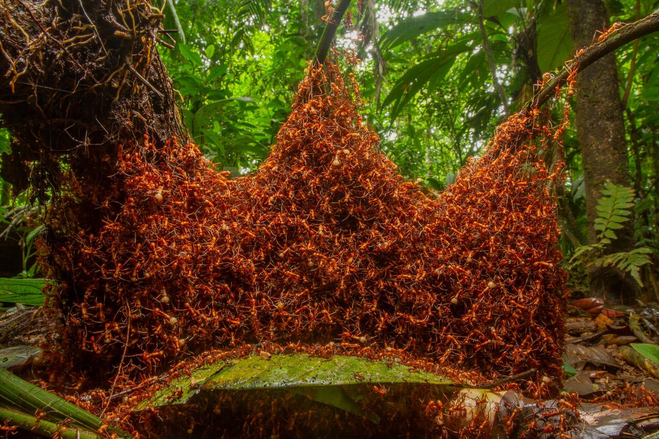 Overdag overvallen deze kolonie legermieren hun omgeving, meestal jagend op andere mierensoorten. In de schemering gingen ze verder, tot 400 meter voordat ze een nest voor de nacht bouwden. Daniel plaatste zijn camera op de bosbodem en was op zijn hoede om duizenden giflegermieren van streek te maken. 'Je moet niet in hun richting ademen,' zegt hij.