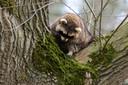 Wasbeer in de boom in Vught