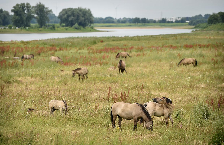 De natuur kan haar gang gaan, hier nabij het Limburgse Borgharen langs de Maas.  Beeld Marcel van den Bergh / de Volkskrant