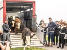 Oer-Hollandse koe is terug in de Zwolse uiterwaarden, nu de schilder nog