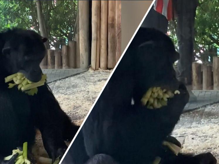 Chimpansee Kumi is gek op selderij