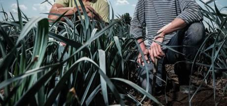Koolgroenten lijden onder de hitte: dan maar aan de aardappelen en bieten