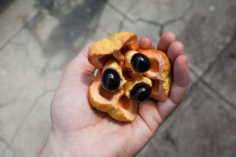 Ackeevruchten bloeien aan de boom in drie parten open, haast als een tulp. Beeld Ringo Gomez Jorge