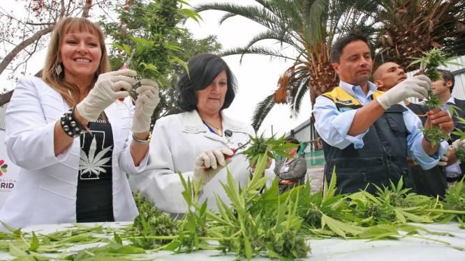 Chili haalt eerste legale oogst van marihuana binnen