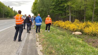 Gekker wordt het niet: tiental agenten maakt meer dan twee uur lang jacht op ontsnapte stier langs E40