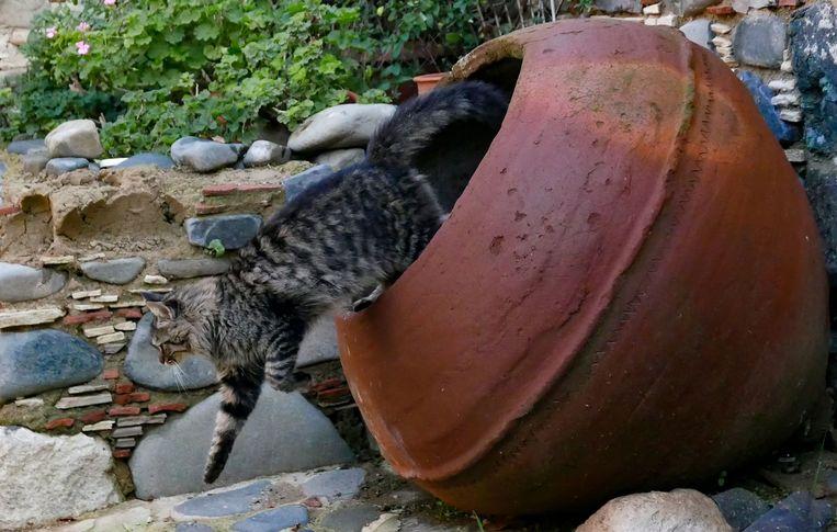Een Cypriotische kat. Bewijs dat katten op Cyprus als huisdier werden gehouden, gaat verder terug dan waar ook ter wereld, inclusief Egypte. Beeld AFP