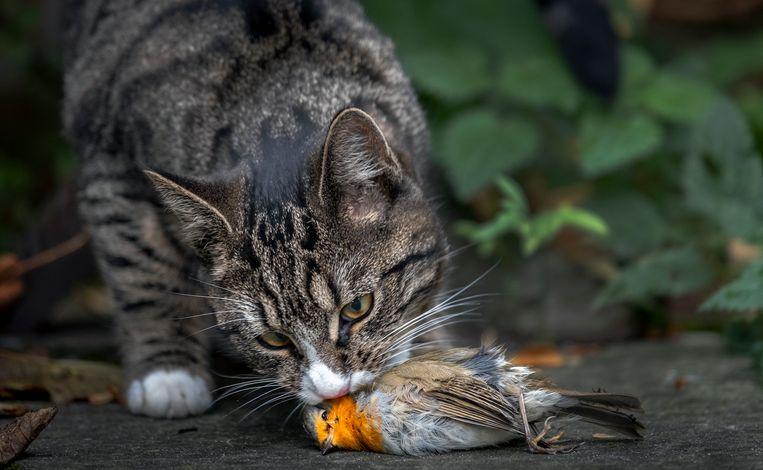 Loslopende huiskatten verorberen in Nederland jaarlijks miljoenen vogels en kleine zoogdieren.  Beeld Hollandse Hoogte/Ramon van Flymen