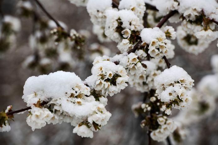 Het komt zelden voor dat fruitbloesem onder een dik pak sneeuw komt te liggen. in april. Dit kan geen kwaad voor de fruitknoppen, het werkt als een deken en beschermd de knop tegen de kou. Deze bloesem komt van de kersenboomgaard bij van Sterenburg in Buren.