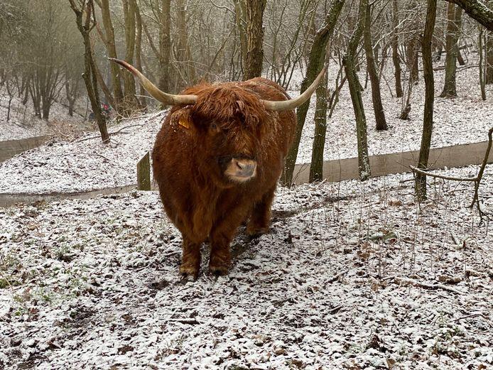 Hij is er op gebouwd en dat kun je wel zien: deze Schotse Hooglander in het Westduinpark in Den Haag geniet stilletjes van het neerdwarrelende sneeuw.