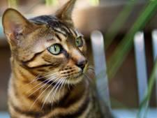 Meierijstad zoekt andere oplossing voor kattenoverlast