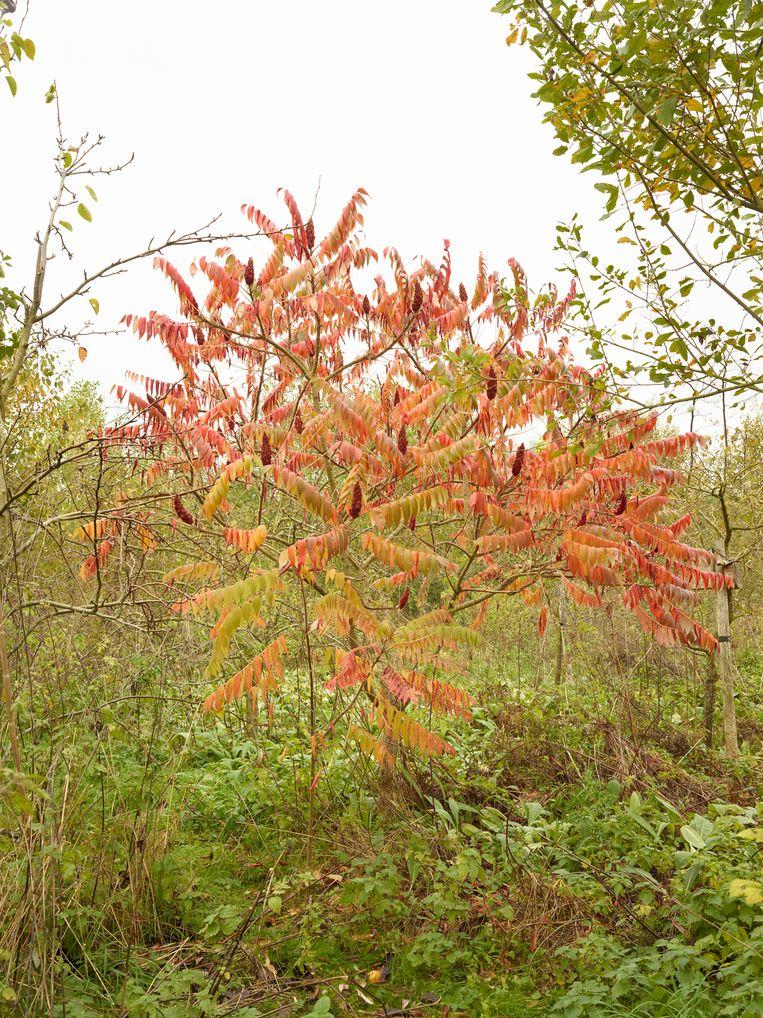 De sumak van herfst tot en met zomer: 29 oktober. Beeld Henk Wildschut