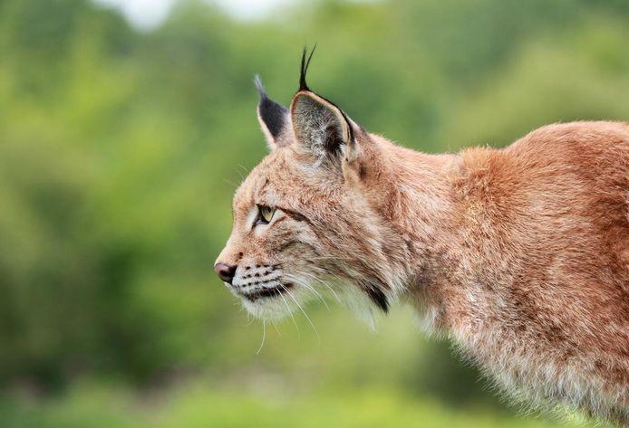 Amerikanen verwijzen niet naar een graafmachine als ze het woord bobcat gebruiken, maar naar de lynx rufus.