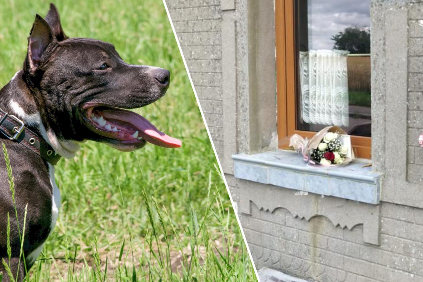 Een American Staffordshire Terrier, niet de hond die het meisje heeft doodgebeten. Rechts: iemand heeft bloemen achtergelaten op de vensterbank van het huis waar het drama zich afspeelde.