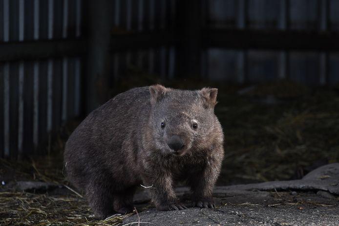 Een wombat.