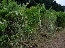 Exotisch plantje gooit roet in eten van groot bouwplan Bredevoort