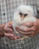 De jonge vogels worden geringd zodat ze geïdentificeerd kunnen worden bij terugvangst of bij vondst na overlijden.