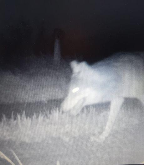 Subsidie voor bescherming tegen wolf pas als-ie zich vestigt in Overijssel: 'Je weet niet waar de wolf nu zit'