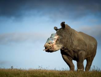 Kunnen 3D-geprinte hoorns de bedreigde neushoorn redden?