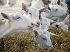 Voorwaardelijke boete voor geitenboer uit Lunteren die zijn lammeren voor slacht wilde behoeden