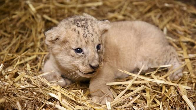 Zo schattig: klein leeuwtje geboren in dierenpark Pairi Daiza