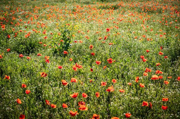 Poppies veld klaprozen