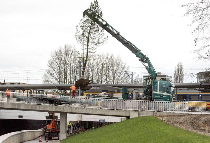 Nieuwe bomen vervangen de oude spoorbomen in Harderwijk.
