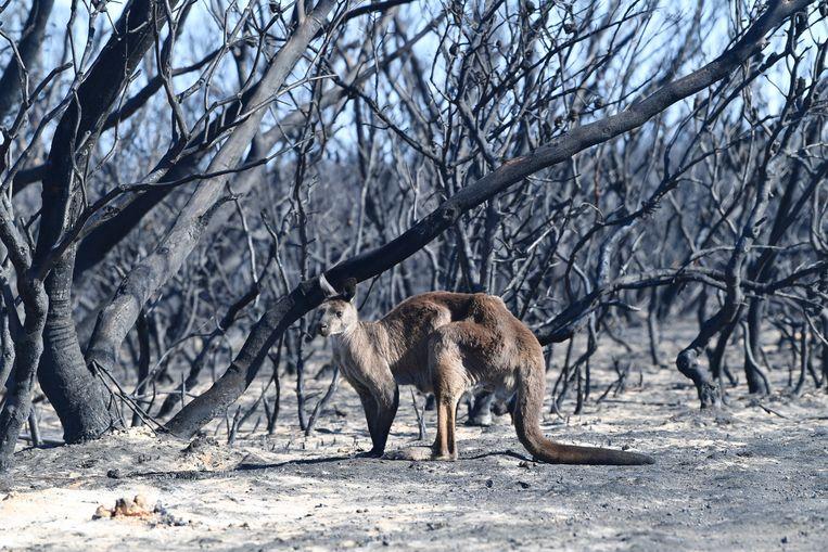 Op Kangaroo Island, voor de kust van Zuid-Australië, hebben de branden mogelijk duizenden kangoeroes en koala's het leven gekost. Beeld EPA
