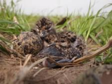 Verboden chemische stoffen gevonden in Friese mussen en eieren