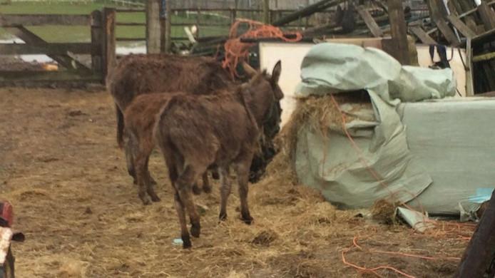 Verwaarloosde ezels in Maasdriel.
