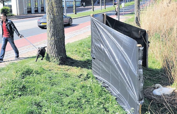 Op sommige plaatsen zorgt de gemeente ervoor dat zwanen veilig kunnen broeden, zoals hier aan de Spuiboulevard in Dordrecht.
