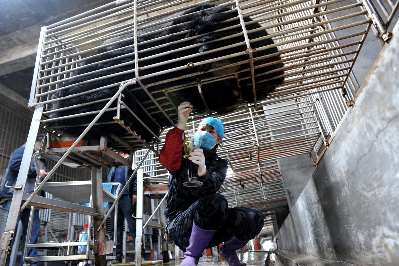 Berengal is een extract dat bij gekooide levende beren uit de galblaas wordt getapt, een invasieve praktijk die met veel infecties en dierenleed gepaard gaat. Beeld Hollandse Hoogte / AFP