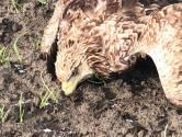 Zeearend met bebloede romp en poten aangetroffen in polder bij Steenbergen